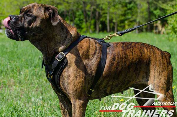 Practical Boxer Harness for Walking and Training