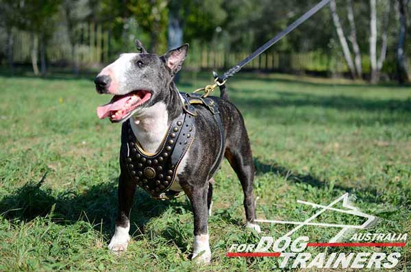 Bull Terrier Harness with stylish decoration