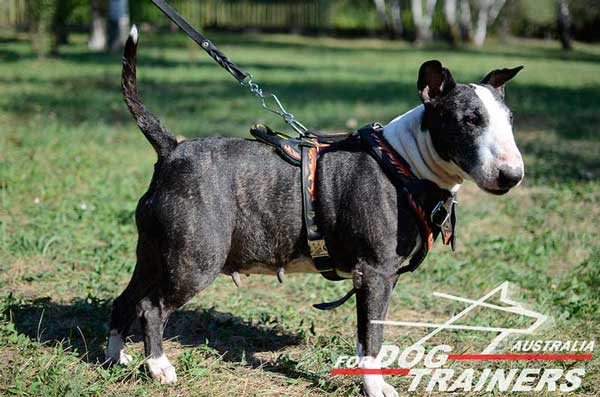 Bull Terrier Leather Harness with a D-Ring