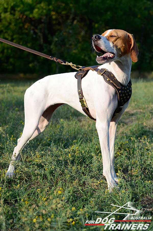 English Pointer Leather Harness with Brass Studs