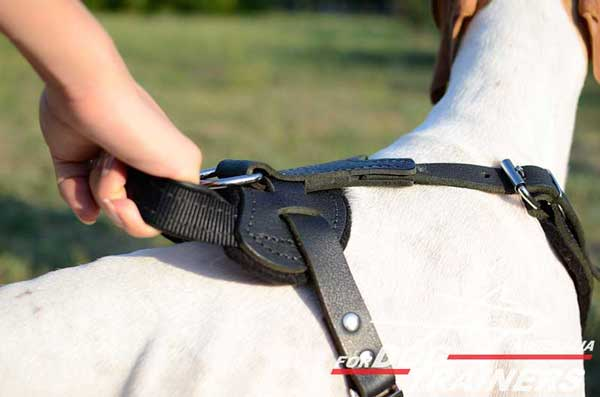 English Pointer harness with handle for everyday use