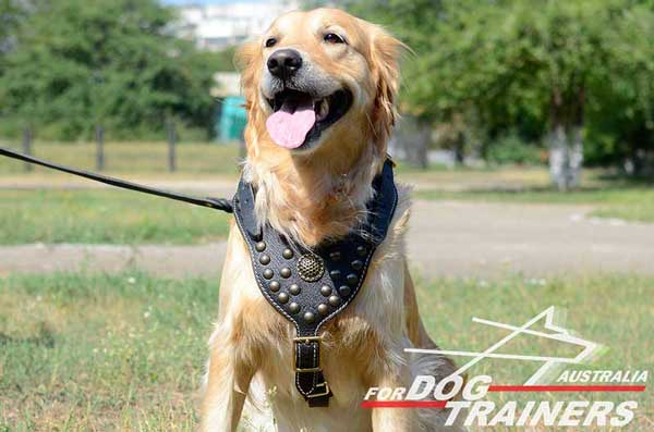 Padded Golden Retriever Harness with royal decoration