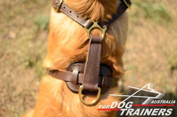Harness for Golden Retriever equipped with durable D-ring for training with a leash