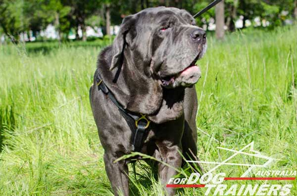 Mastino Napoletano Leather Tracking Harness Lightweight
