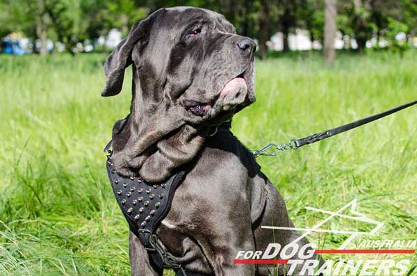 Mastino adorned harness made of leather