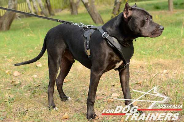 Pitbull leather harness of the highest quality