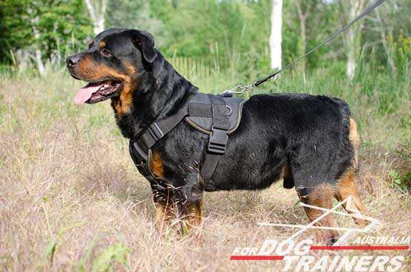 Easy wearing Rottweiler harness