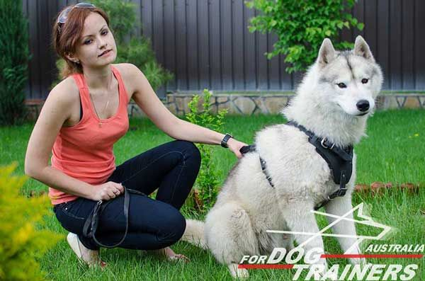 Handmade Siberian Husky Harness for Pleasant Walking